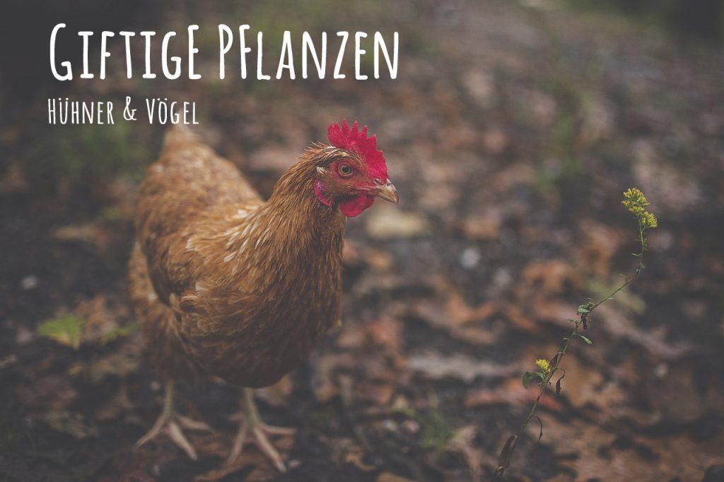 Welche Kräuter sind für Hühner giftig?
