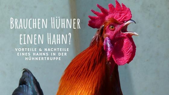 Hühner mit oder ohne Hahn halten?