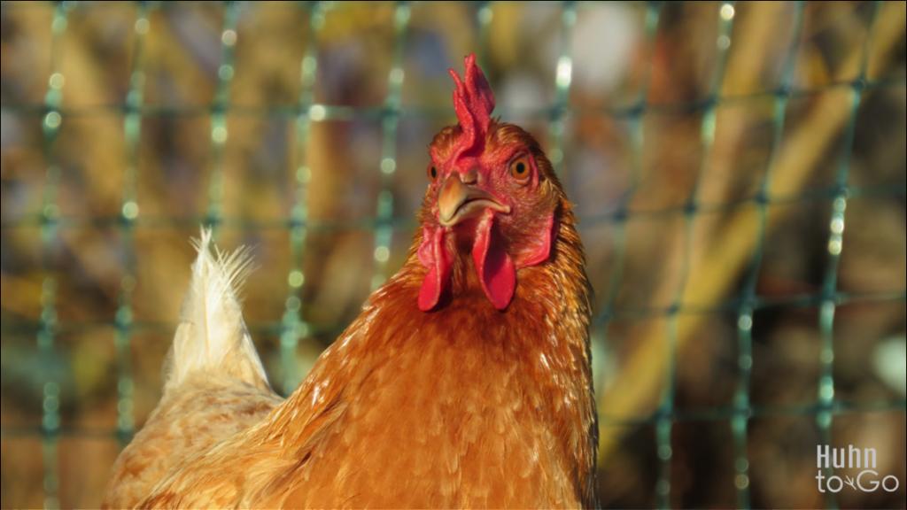 Hühner Patenschaft für Anfänger
