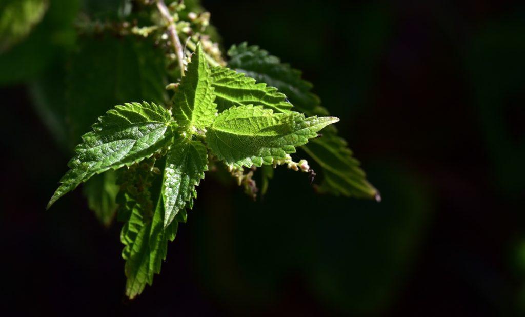 Brennnessel Blätter Samen