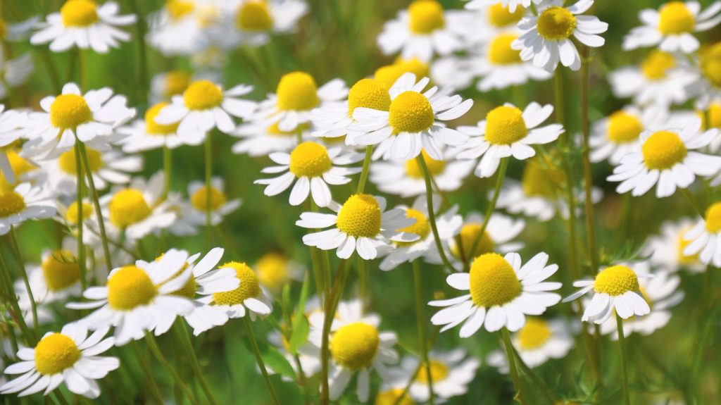 Echte Kamille Blüten