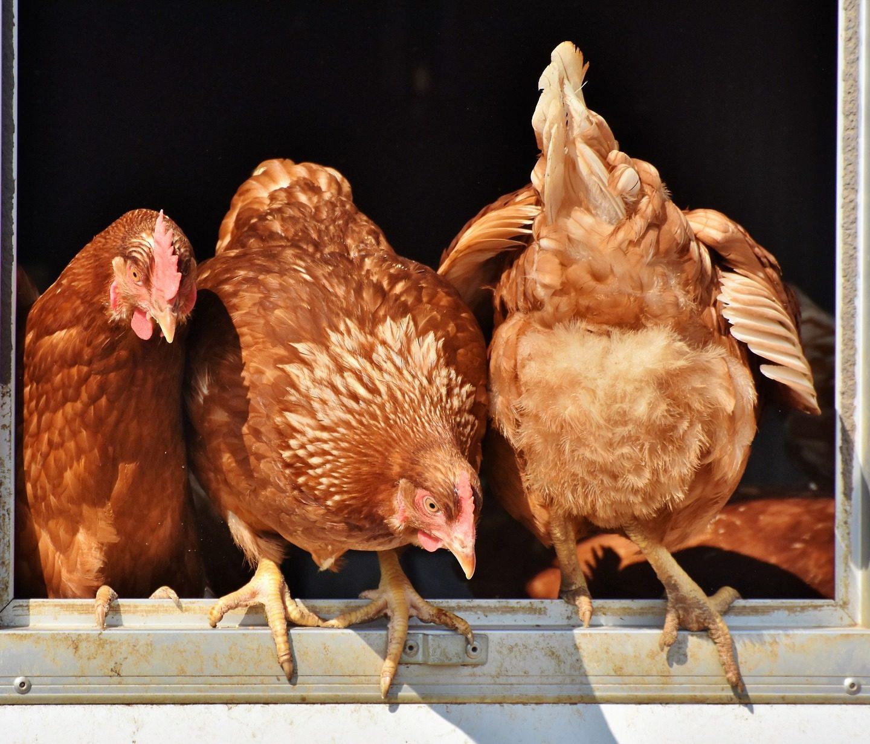 Neue Hühner eingewöhnen – so geht's ohne Stress